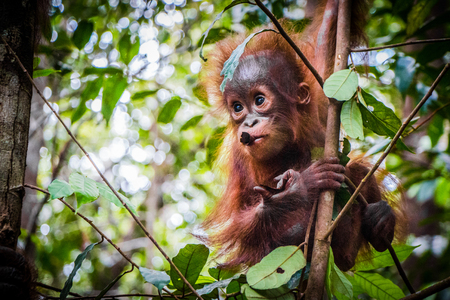 Worlds cutest baby orangutan hangs in a tree in the jungles of Borneo with a branch in its mouth