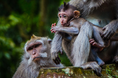 A newborn baby monkey snuggles mom for warmth in the Monkey Temple in Ubud, Bali, Indonesia