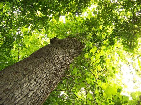Towering Beech Tree
