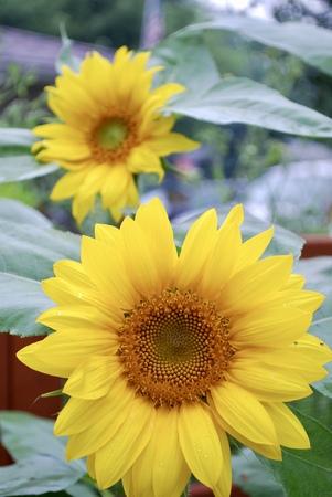 Sunflowers in the Garden on a Sunny Day 版權商用圖片