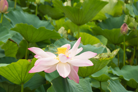withering: a pink lotus is in state of withering and falling