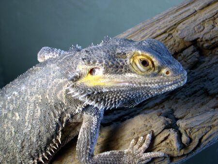 lizard, up close Stock Photo