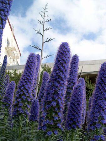 紫の花の庭 写真素材