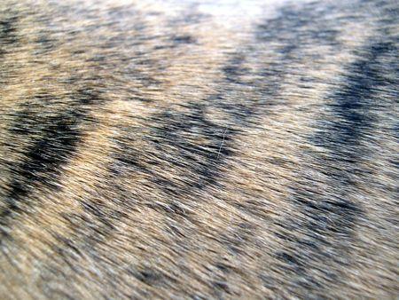 tiger striped hair          Stock Photo