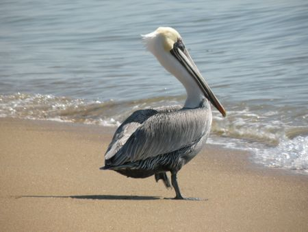 A pelican walking into the ocean water 写真素材