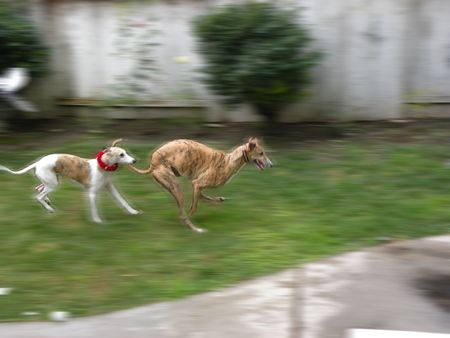 a greyhound and a Whippet running