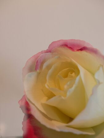isolated rose 写真素材