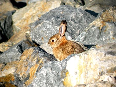 A rabbit sitting out among some rocks, hiding from predators
