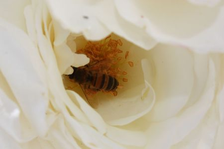A honey bee collecting pollen in a white rose