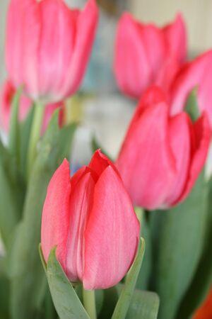 庭のチューリップ 写真素材 - 4706321