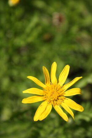 デイジーの花 写真素材 - 4752842