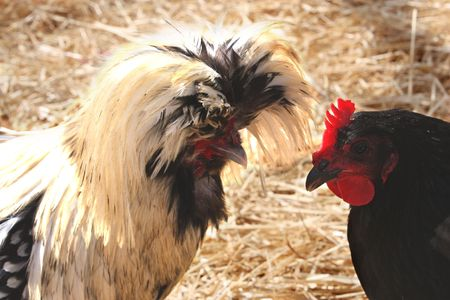 non-bearded, white crested, black polish hen 写真素材