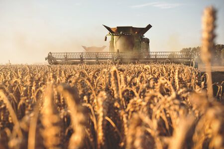 Front view of a combine harvesting on a wheat field at dusk