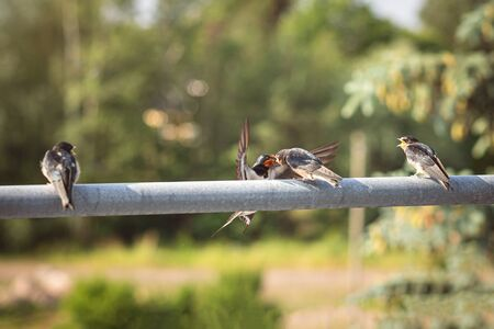 Swallow parent providing food for a fledgling