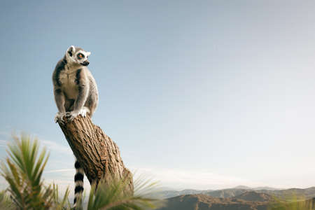 Ring-tailed lemur sitting on a tree in a sunny landscape
