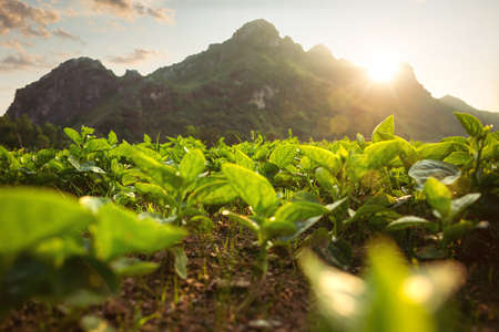 Small plants on a field behind a mountain at sunset