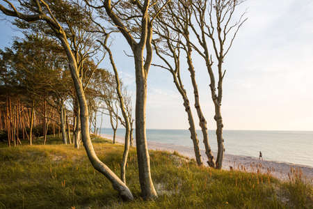 Trees on the West Beach of the Darss peninsula at the Baltic Sea
