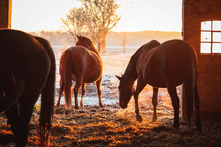 Group of horses exiting the stable on a cold winter morning 版權商用圖片