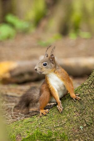 Red squirrel in alert  Stock Photo - 12402280