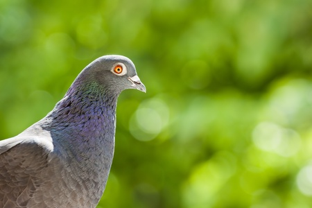 Portrait of a racing breed pigeon, on a green background