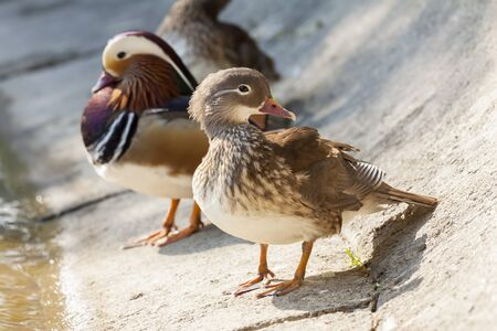 Pair of Mandarin ducks on the shore of a lake  Selective focus  photo