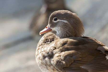 Portrait of a Mandarin duck female resting in the sun  photo