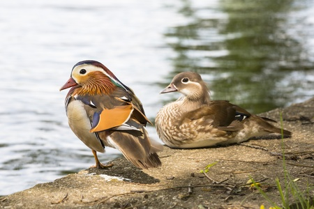 Pair of Chinese Mandarin ducks resting on the shore of a river Stock Photo - 14847200