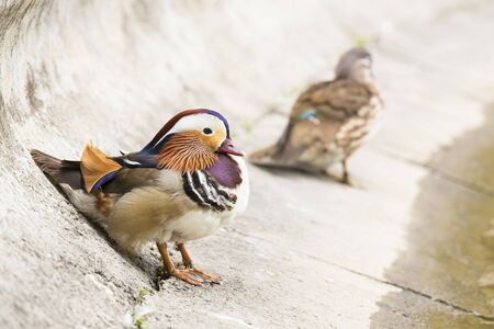 Couple of Mandarin ducks on the bank of a river  Focus on male  photo