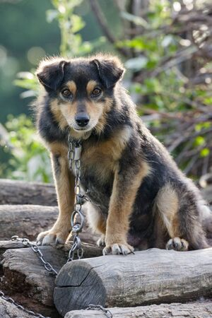 Curious chained dog on a pile of wood. Stock Photo - 15586942