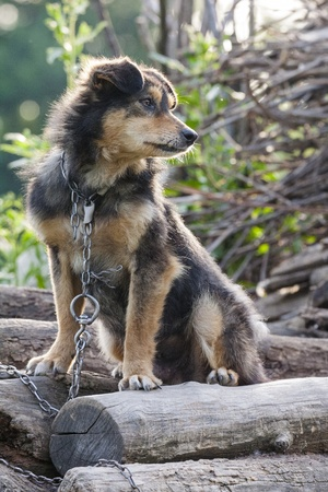 Miserable and hungry chained dog in the backyard. Stock Photo - 15586932