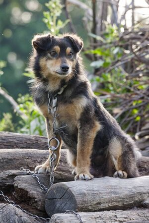 Sad chained dog on a pile of wood. photo