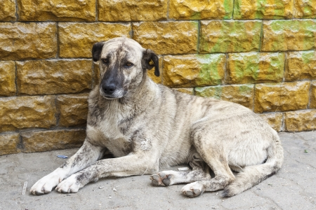 Homeless dirty dog resting near a wall. photo