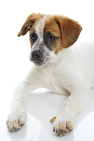Attentive terrier puppy portrait over white background  Stock Photo - 19299208