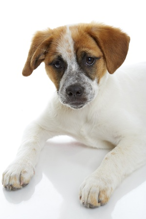 Curious terrier dog puppy on white background  Stock Photo - 19299240