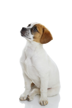 Obedient terrier dog puppy sitting and waiting in front of white background  Stock Photo - 19299261