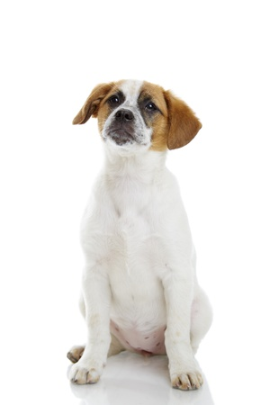 Obedient terrier dog puppy sitting and waiting in front of white background  Stock Photo - 19299199
