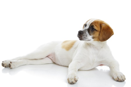 Curious young terrier female lying in front of white background  Stock Photo - 19299260