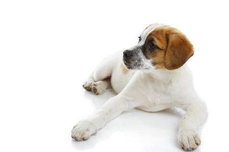 Attentive young terrier female lying in front of white background  Stock Photo - 19299262