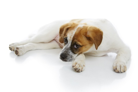 Cute doggy lying and resting over white background  Stock Photo - 19299265