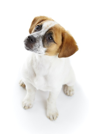 Obedient terrier dog puppy sitting and waiting in front of white background Stock Photo - 19299267