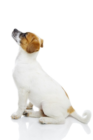Profile of obedient terrier dog puppy sitting and waiting in front of white background  Stock Photo - 19299268