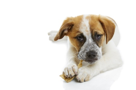 Young terrier dog eating rawhide treat over white background  Stock Photo