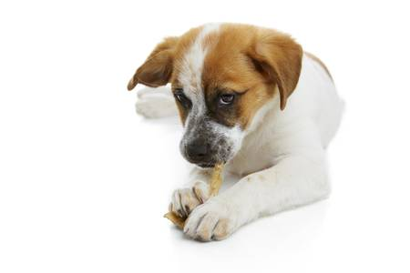 Young terrier dog eating rawhide treat over white background  photo