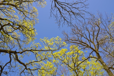 Tree canopy in spring time over blue sunny sky, low angle shot. Stock Photo