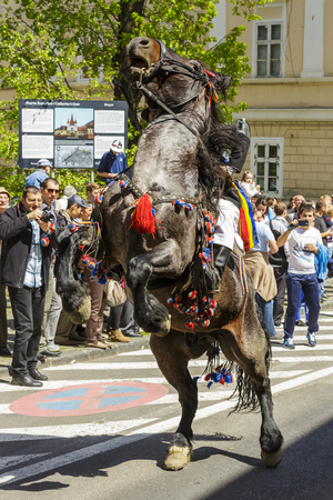 BRASOV, ROMANIA - APRIL 27: Brown spirited horse rears with unidentified rider of Old Junii group during the old traditional parade of the Brasov Juni on April 27, 2014 in Brasov, Romania.