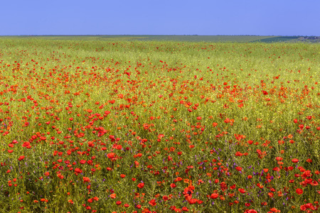 Field of wild poppy flowers in blossom on clear sunny summer day. photo