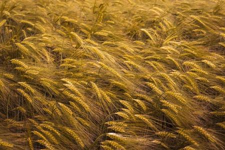 麦畑を熟成します。 写真素材