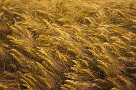 ripening: Ripening wheat field.