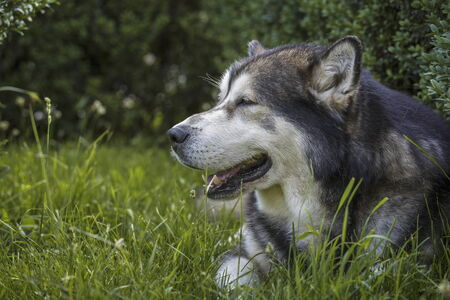 furred: Side view portrait of a large adult Alaskan Malamute male dog resting in the green grass with open mouth.