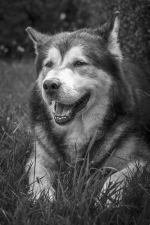 Front view portrait of a large adult Alaskan Malamute male dog resting in the grass with open mouth. Black and white. photo